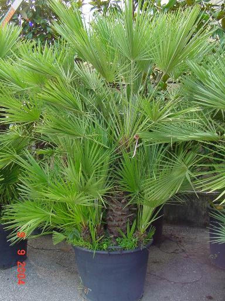 Chamaerops palma nana - Radici palma ...