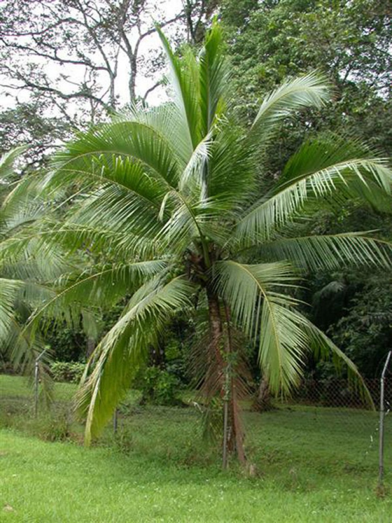 Cocos noce di cocco for Pianta di cocco