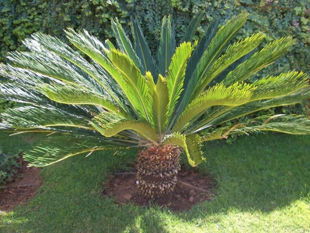 Cycas revoluta palma nana - Costo palma da giardino ...