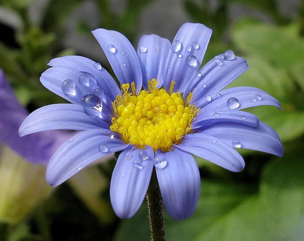 Felicia margherita blu for Margherita pianta