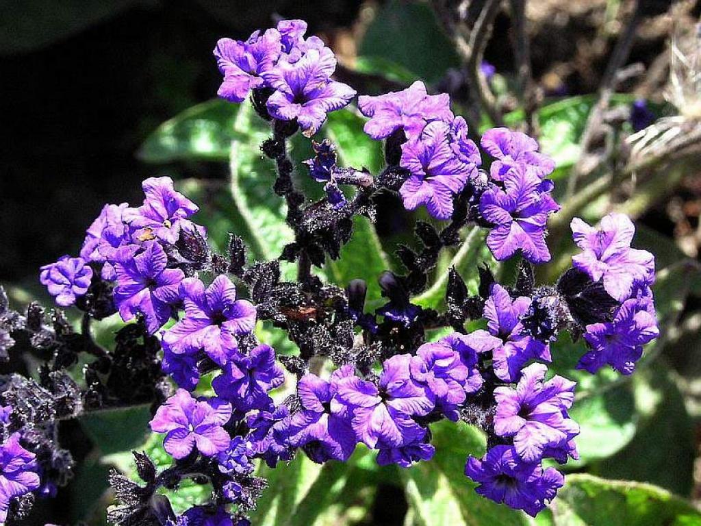 Heliotropium fior di vaniglia for Pianta rampicante con fiori viola a grappolo