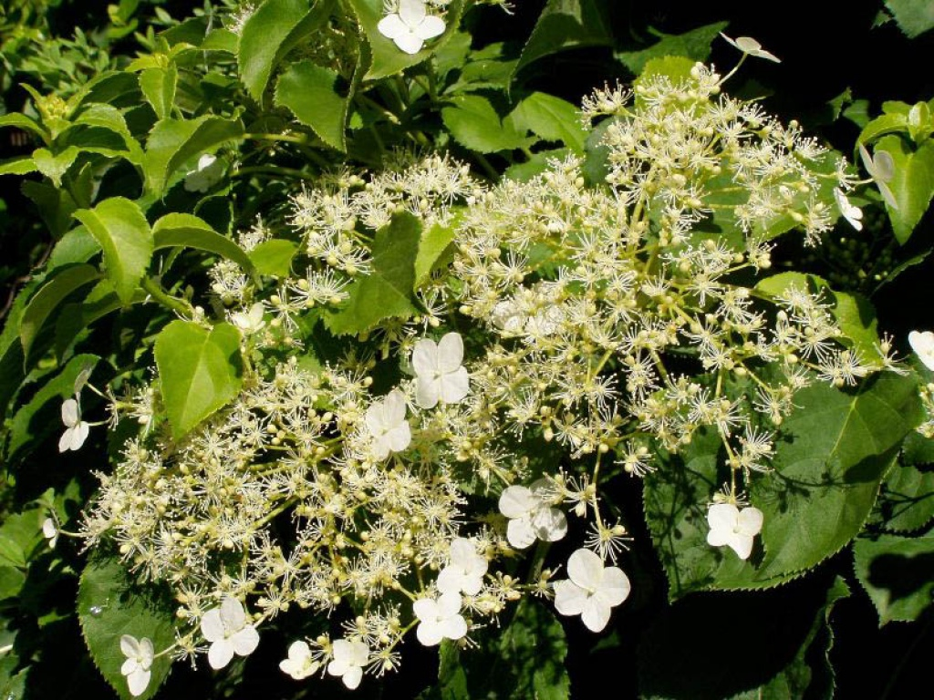 Hydrangea petiolaris ortensia rampicante - Ortensia rampicante petiolaris ...