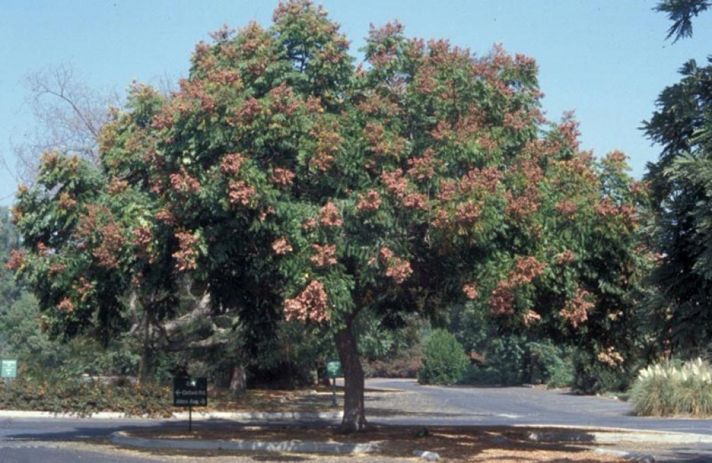 Koelreuteria - Alberi da giardino sempreverdi da ombra ...