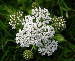Arbusto selvatico fiori bianchi profumati decora la tua vita for Fiori piccoli bianchi