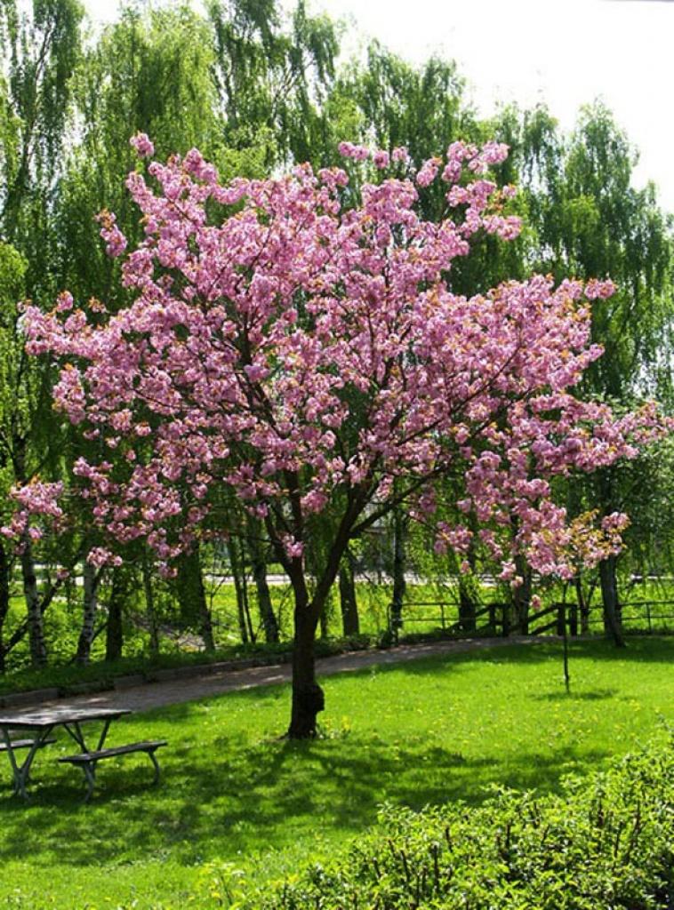 Prunus serrulata ciliegio giapponese - Ciliegio da giardino ...