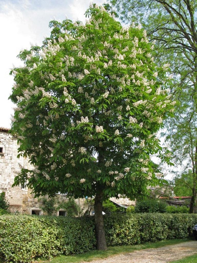 Aesculus hippocastanum ippocastano for Chioma albero
