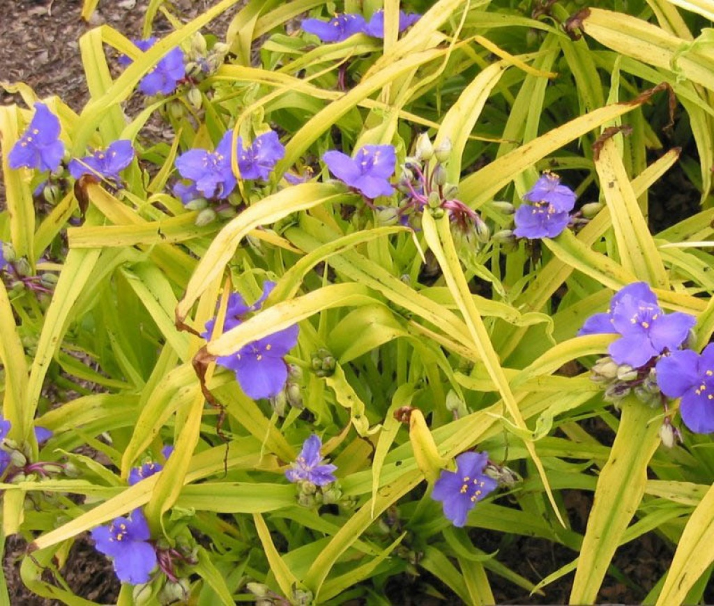 Tradescantia erba miseria for Miseria pianta